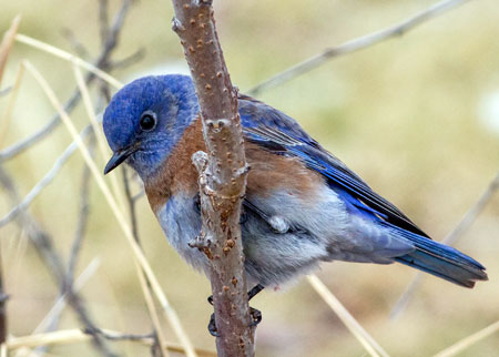 Western bluebirds are often spotted on campus.