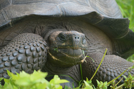 A new species of giant tortoise, Chelonoidis donfaustoi, has been discovered on Ecuador's Galápagos Archipelago. UBC biology professor Michael Russello was on the team of international scientists who identified this species. Photo credit: James P. Gibbs