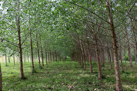 These poplar trees are part of a biological recycling system.