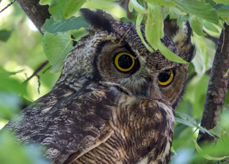 The great horned owl's food supply of northern hare may become scarce as global warming continues. Photo credit: Bob Lalonde.