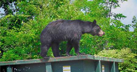UBC research indicates bear management strategies need to improve to educate people and protect the bear population.
