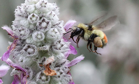 UBC is hosting a series of events to help people create pollen trails to benefit the bee population.