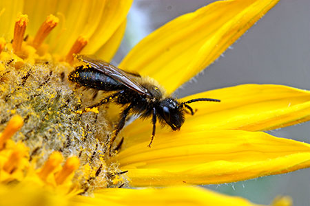 This weekend's Pollinator Picnic celebrates the success of Kelowna's newly-established nectar trail. Photo credit: Bob Lalonde