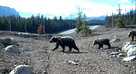 A screenshot from Banff's Temple overpass shows a female grizzly escorting her cubs across the Trans-Canada Highway.
