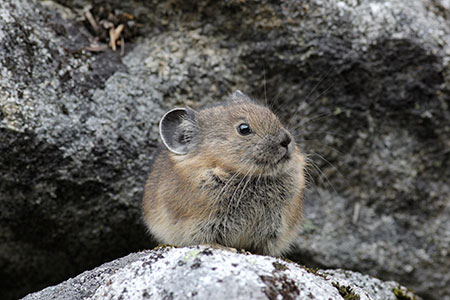 An American pika in North Cascades National Park (Photo credit: Andrew Veale)