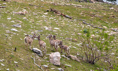 A photo of bighorn sheep