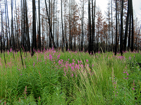 Landscape left untouched after a wildfire can regenerate and create protective cover for red squirrels and the snowshoe hare, and important species like coyotes, lynx, bobcats and owls depend on it to survive. Photo credit Angelina Kelly.